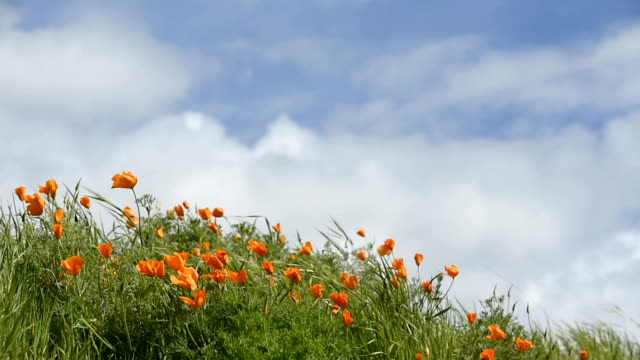 Early Morning Video of California Wild Poppies on Hillside