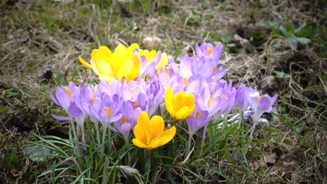 Early spring, crocus flowers against the background of a last year's grass video