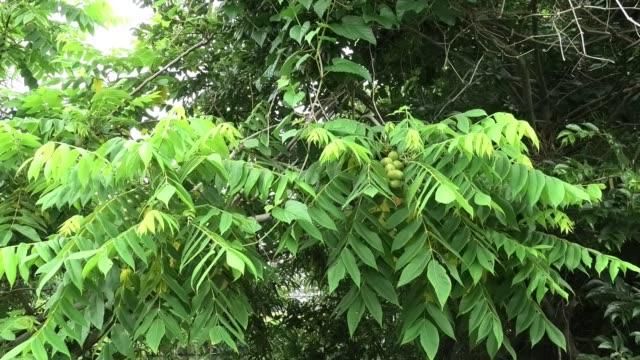 初夏の日本のクルミの木。 - 川岸点の映像素材/bロール