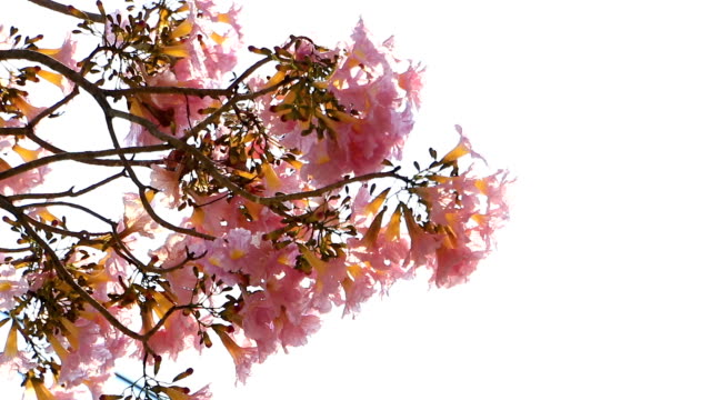 Early year Pink flowers Tabebuia rosea blossom sway with the wind on tree of Central Thailand are popular, sun ray behind the tree.