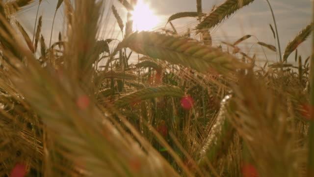 vidéos et rushes de oreilles de ds de blé d'or au coucher du soleil - tige d'une plante