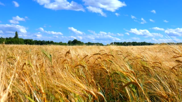 Ears of wheat and cloudy sky. Ears of wheat and cloudy sky wheat stock videos & royalty-free footage