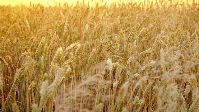 vídeos de stock e filmes b-roll de ears of wheat at dawn - vídeos de milho