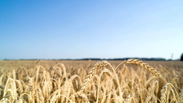 Ears of wheat ripens in field. video