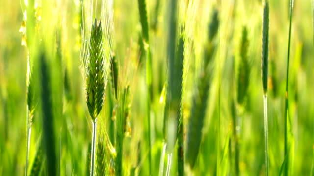 vídeos y material grabado en eventos de stock de orejas de trigo - grano planta