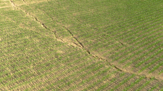 DRONE: Earth in fields of maize cracking in the cornfields from the summer heat.