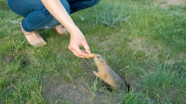 Earth squirrel eats from the hands of a tourist.