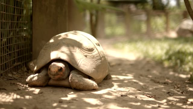 Earth Turtle breathing on blur background Ground earth turtle face motion, breathing movement on blur background animal nature reptile stock videos & royalty-free footage