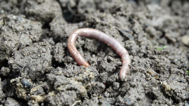 Earthworm crawling into the dirt