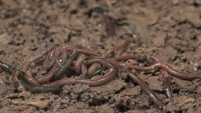Earthworm crawling on the dirt video