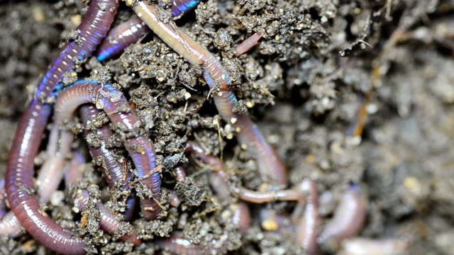 Earthworms on soil video
