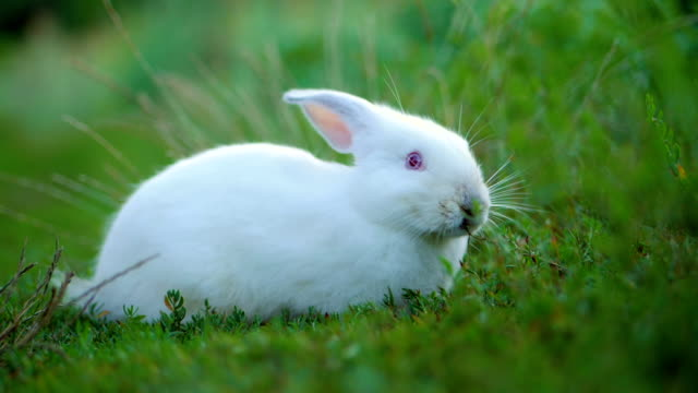Easter adorable white bunny outdoor on green background eating grass and carrot. Slow motion video