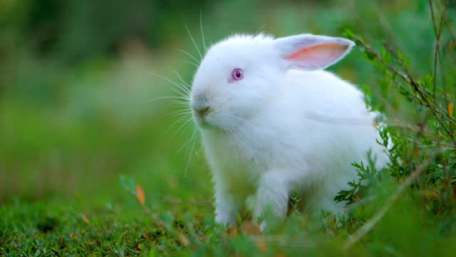 Easter adorable white bunny outdoor on green background eating grass and carrot. The rabbit is washing his hands. Slow motion video