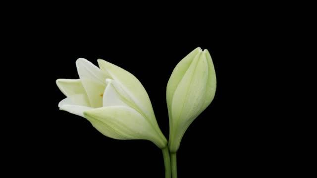 easter lily blooming time lapse - lilia filmów i materiałów b-roll