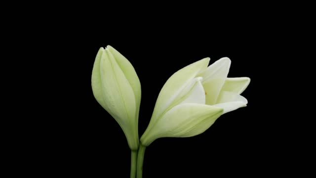 Easter Lily Blooming Time Lapse