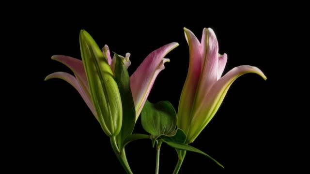 easter lily flower time lapse black background - lilia filmów i materiałów b-roll