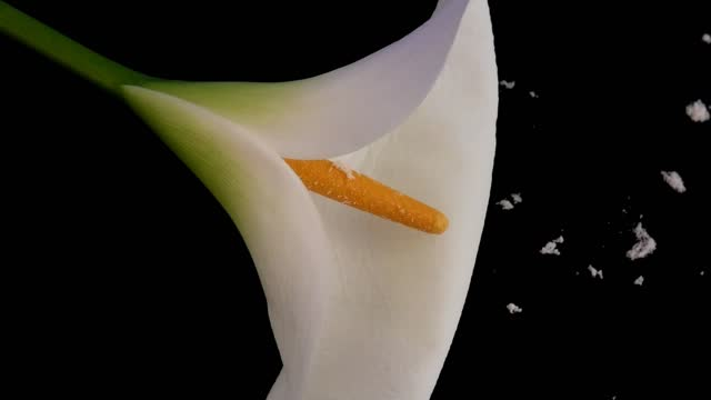 Easter lily with pollen against black background
