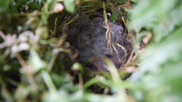 eastern blue bird nest in tennessee in den vereinigten staaten - nest stock-videos und b-roll-filmmaterial