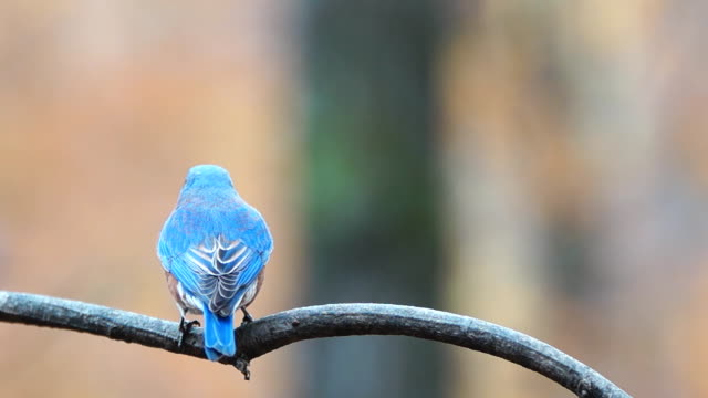 stockvideo's en b-roll-footage met eastern bluebird male - vogel herfst