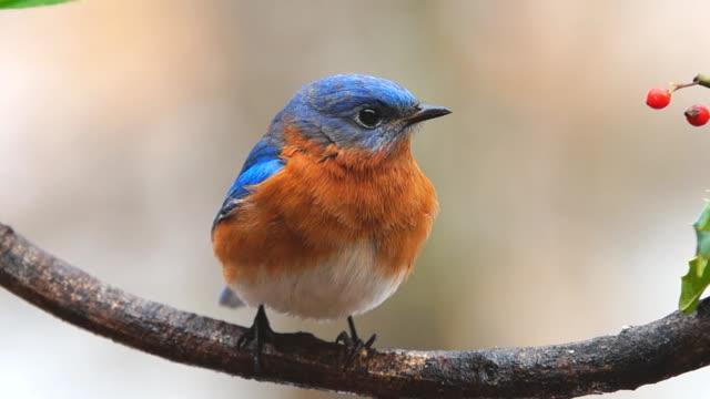 Eastern Bluebird Male video