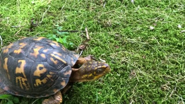 Eastern Box Turtle Moving Across Mossy Yard