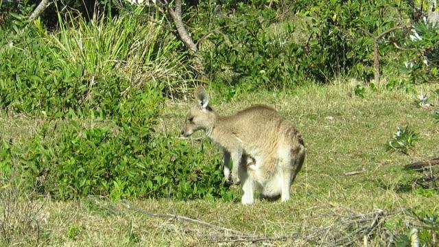 grå jättekänguru - djurfamilj bildbanksvideor och videomaterial från bakom kulisserna