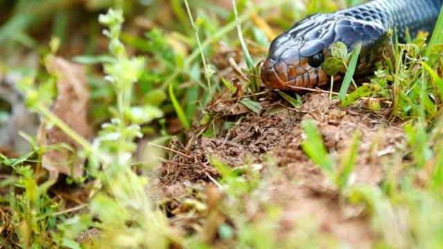 Eastern Indigo Snake video