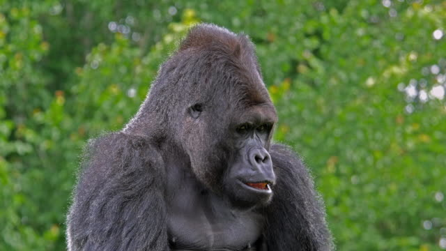Eastern Lowland Gorilla, gorilla gorilla graueri, Male and Female, real Time 4K video
