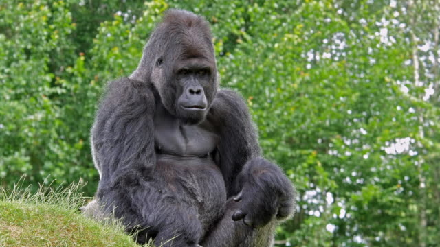 Eastern Lowland Gorilla, gorilla gorilla graueri, Male sitting, real Time 4K video