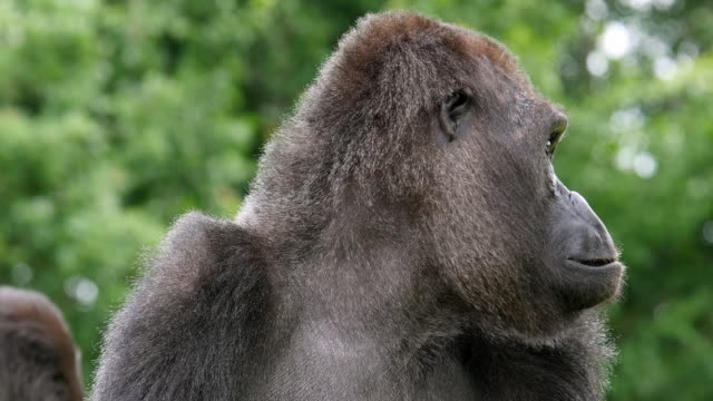 Eastern Lowland Gorilla, gorilla gorilla graueri, Portrait of Female, real Time 4K video