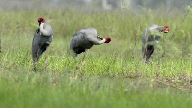 Eastern Sarus Crane (Grus antigone) video