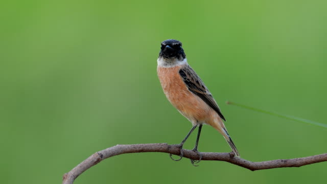 Eastern Stonechat bird video