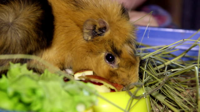 eating guinea pig - morrhår bildbanksvideor och videomaterial från bakom kulisserna
