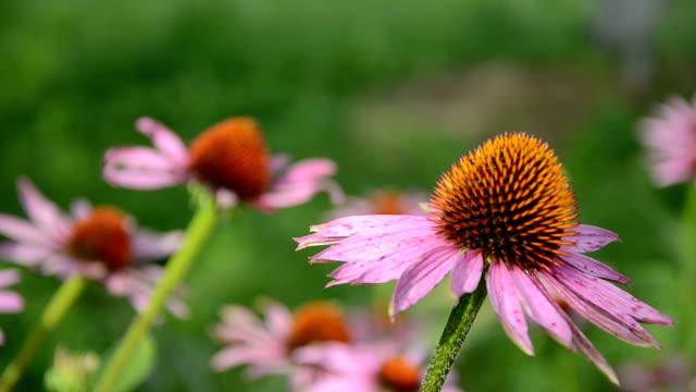 vídeos de stock e filmes b-roll de equinácea angustifolia flores no jardim - fitoterapia