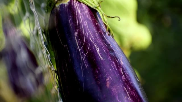 ecologic  eggplant, aubergine, or brinjal, growing edible fruit in spain, 2019 - melanzane video stock e b–roll