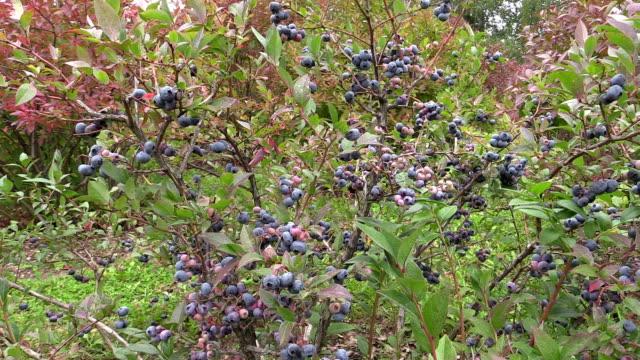 ecologically grown blueberries in garden video