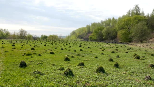 Ecology. On the field a lot of ant hills in the spring video