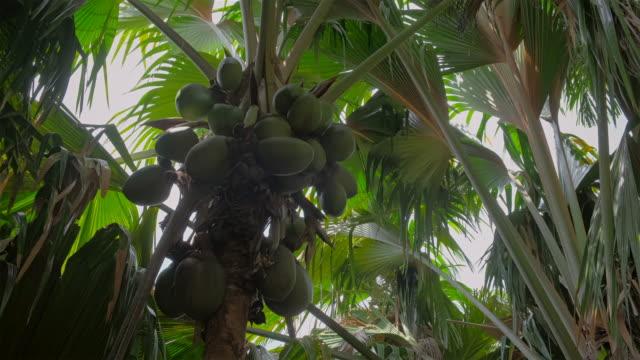 Edemic species coconut named