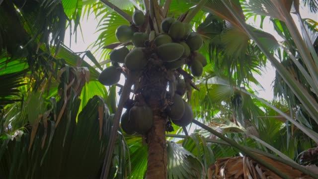 vidéos et rushes de noix de coco edemic espèce nommée «coco de mer» (lodoicea, coco de mer, lodoicea maldivica) un palmier tropical dans la réserve naturelle vallée de mai, seychelles, praslin - tige d'une plante