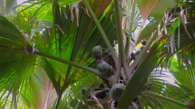 """vidéos et rushes de espèce edemic coco nommée """"coco de mer"""" (lodoicea, coco de mer, lodoicea maldivica) un palmier tropical dans la réserve naturelle vallee de mai, seychelles, praslin - tige d'une plante"""
