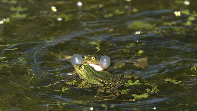 Edible Frog, rana esculenta, Males Leaping, Male calling with inflated vocal sacs, Pond in Normandy in France, Slow Motion Edible Frog, rana esculenta, Males Leaping, Male calling with inflated vocal sacs, Pond in Normandy in France, Slow Motion frog stock videos & royalty-free footage
