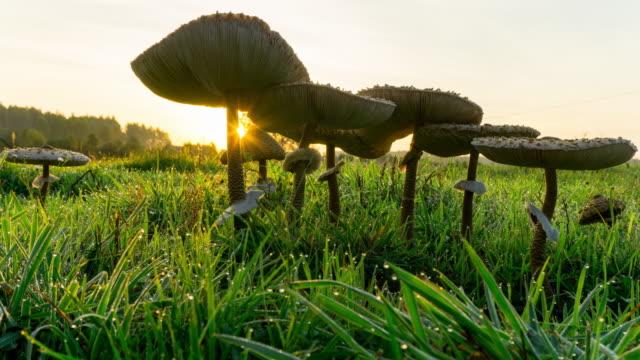 Edible Mushroom video