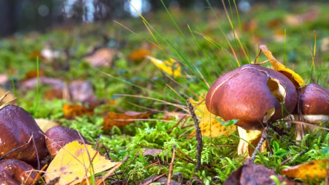 Edible Mushrooms in the forest, filmed from a slider