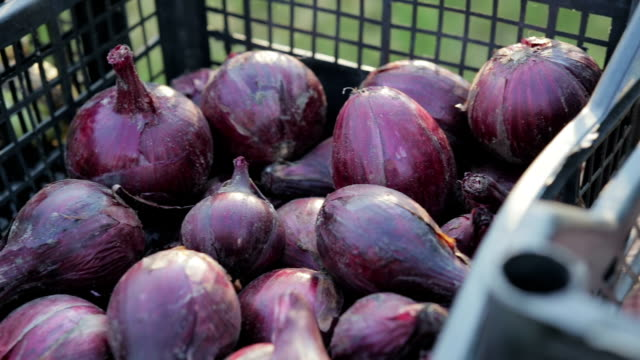 Edible onion is in a plastic crates, the onion harvest