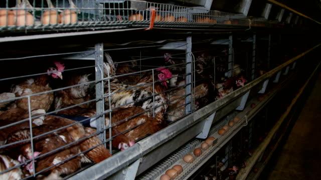 vídeos de stock, filmes e b-roll de ovo de galinhas poedeiras em uma granja - ave doméstica