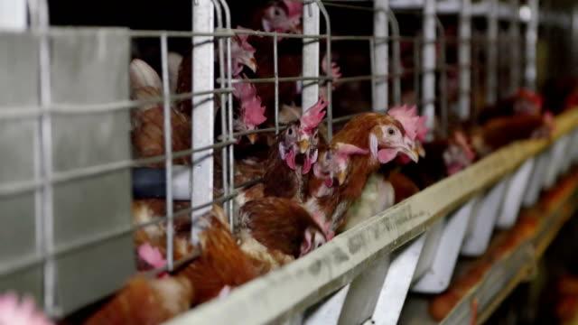 yumurtacı tavuk çiftliğinde yumurta - kafes sınırlı alan stok videoları ve detay görüntü çekimi