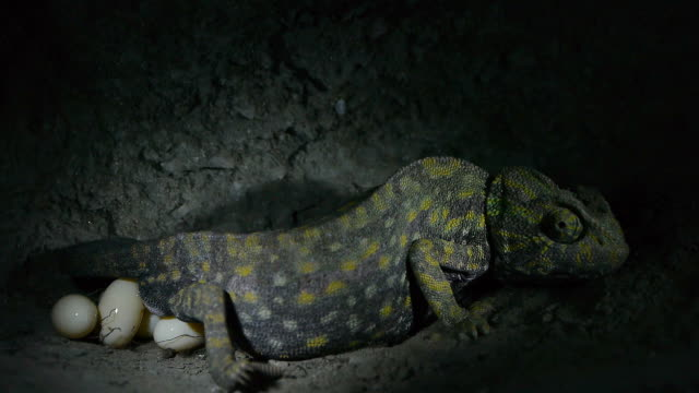 egg-laying Chameleon chameleon female laying eggs under ground tunnel reptile stock videos & royalty-free footage