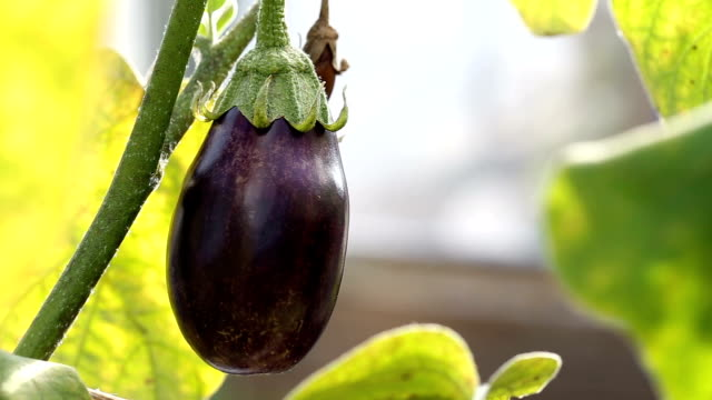 Eggplant in hothouse video
