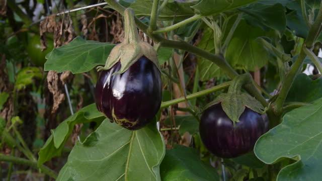 melanzane crescendo nel giardino - melanzane video stock e b–roll