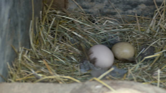 Eggs in Nest video